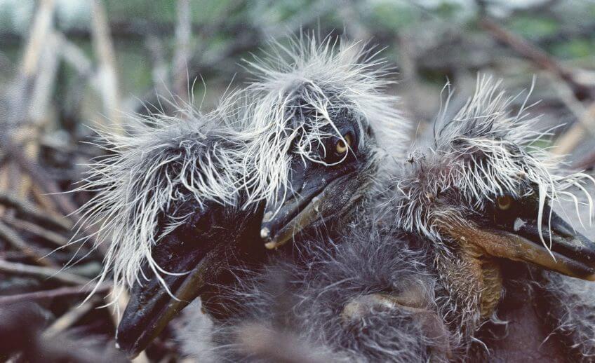 enfants terribles héron jeune nid