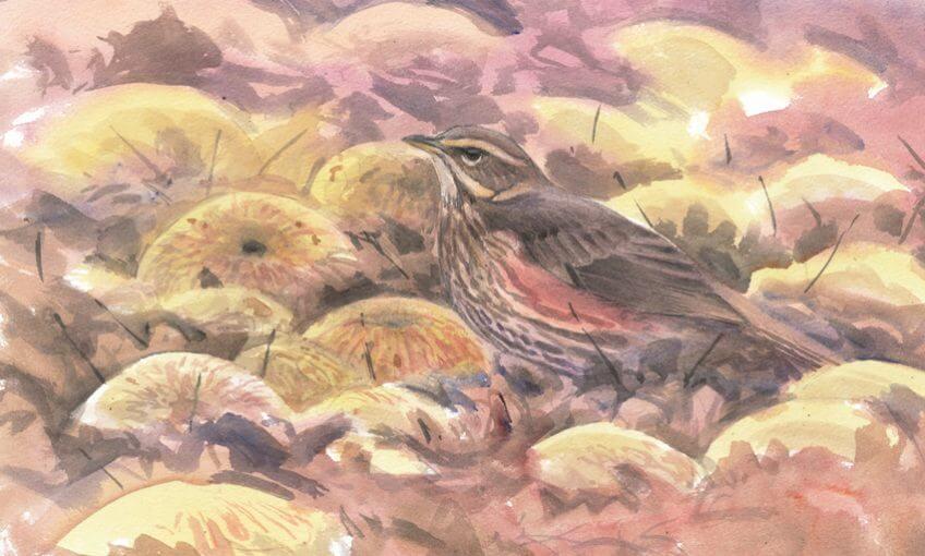 Grive mauvis par Sylvain Leparoux - La Salamandre