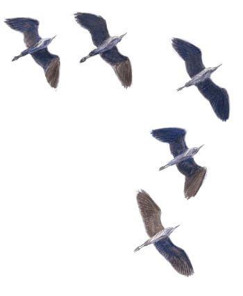 Les hérons, compagnons d'infortune dessin vol v formation groupe