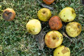 Eparpillez de vieilles pommes au sol.  / © David Melbeck