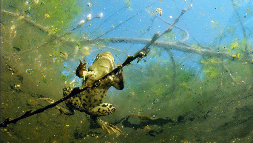 grenouille dessous Le silence des grenouilles