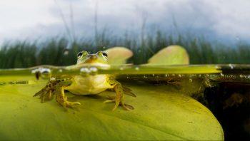 Face à face avec une grenouille
