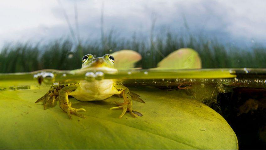 11 infos insolites sur la grenouille - La Salamandre grenouille face à face eau