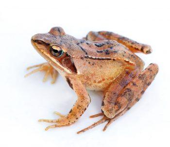 Oh, les belles grenouilles brunes - La Salamandre Grenouille agile frileuse