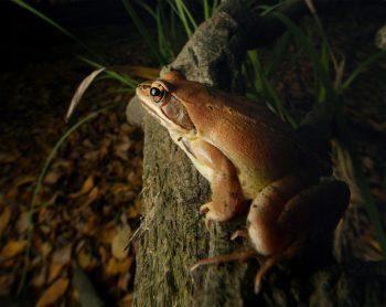 Renaissance d'une grenouille en forêt - La Salamandre Grenouille agile forêt