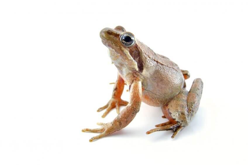 Oh, les belles grenouilles brunes - La Salamandre Grenouille de Lataste sudiste