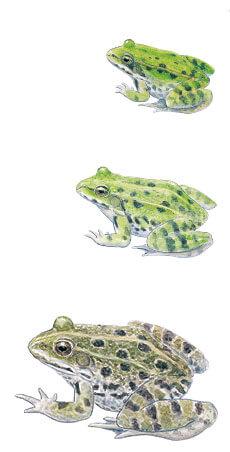 Casse-tête chez les grenouilles vertes - La Salamandre Grenouille de Lessona, vert esculenta rieuse dessin
