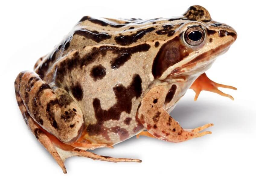 Oh, les belles grenouilles brunes - La Salamandre Grenouille des champs continentale