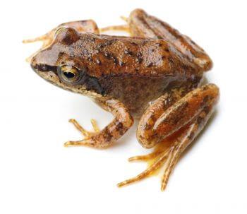 Oh, les belles grenouilles brunes - La Salamandre Grenouille des Pyrénées rarissime