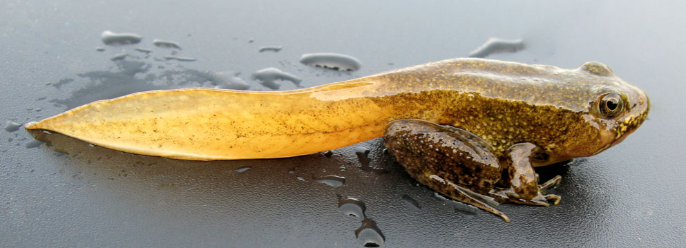 La seconde naissance des amphibiens - La Salamandre Grenouille en métamorphose