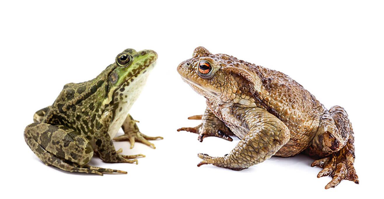 Renaissance d'une grenouille en forêt - La Salamandre Grenouille ou crapaud face à face