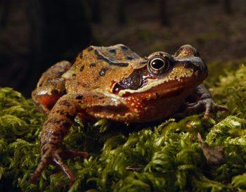 Renaissance d'une grenouille en forêt - La Salamandre Grenouille rousse forêt