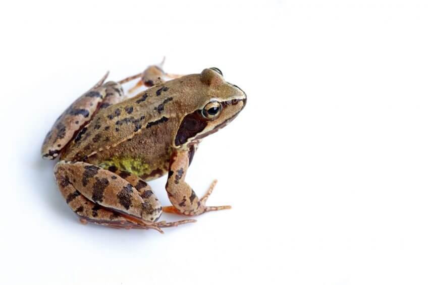 Oh, les belles grenouilles brunes - La Salamandre Grenouille rousse alpiniste