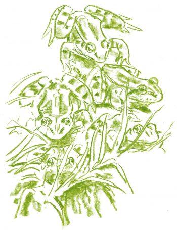 Casse-tête chez les grenouilles vertes - La Salamandre dessin Grenouille verte