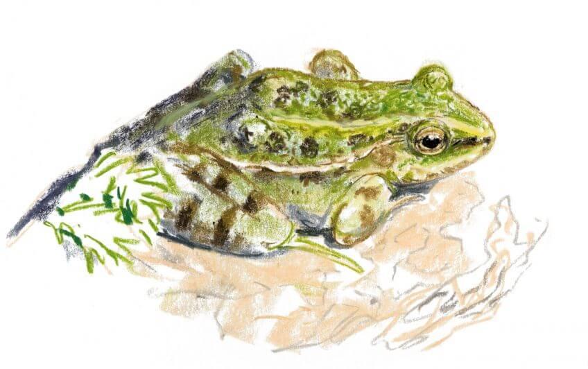 Casse-tête chez les grenouilles vertes - La Salamandre Grenouille verte dessin