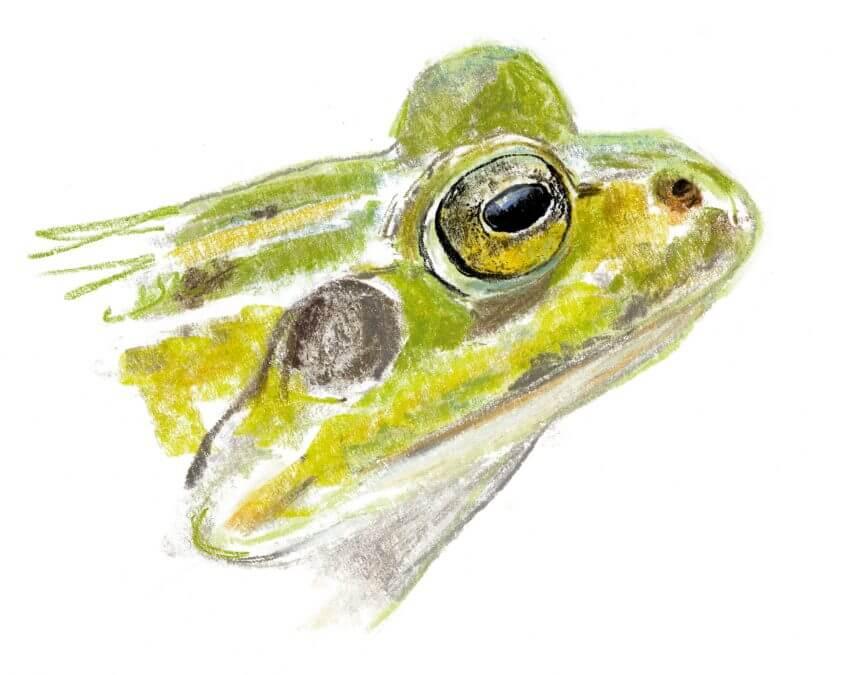 Casse-tête chez les grenouilles vertes - La Salamandre Grenouille verte dessin yeux portrait
