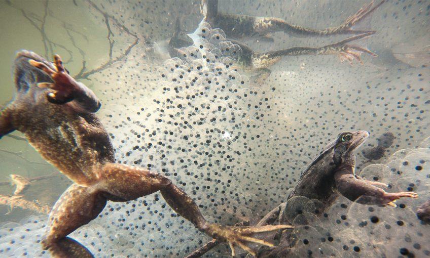 Mariages survoltés chez les grenouilles - La Salamandre Grenouilles rousses et oeufs masse reproduction