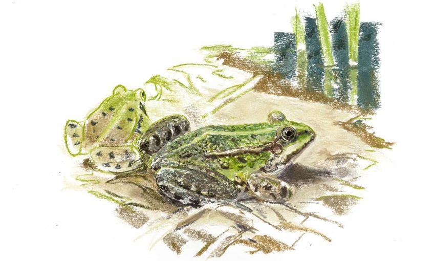Casse-tête chez les grenouilles vertes - La Salamandre Grenouilles vertes au bord de l'eau dessin