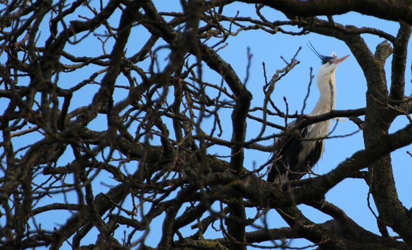 nid amour héron cendré arbre branche