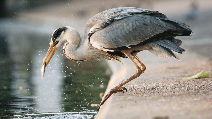 Protéger les poissons d'élevage du héron opportuniste