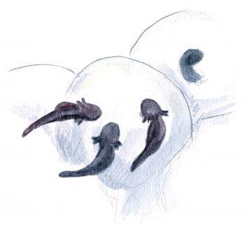 Les superpouvoirs du têtard - La Salamandre jeunes têtards et oeufs dessin