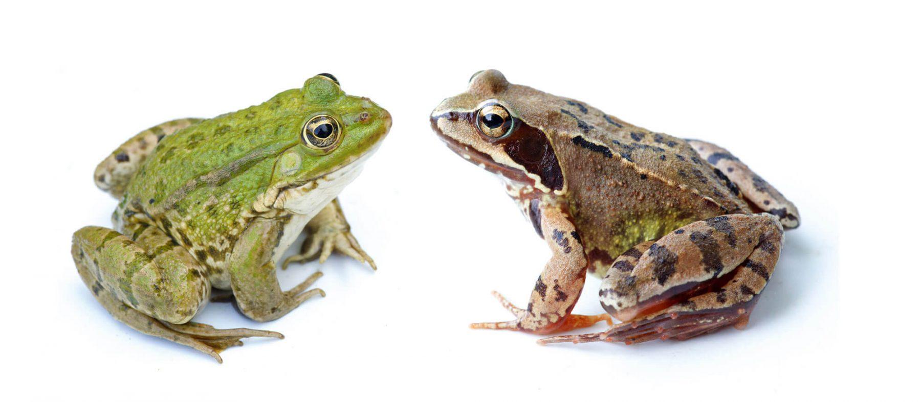 Oh les belles grenouilles brunes la salamandre - Dessin de grenouille verte ...