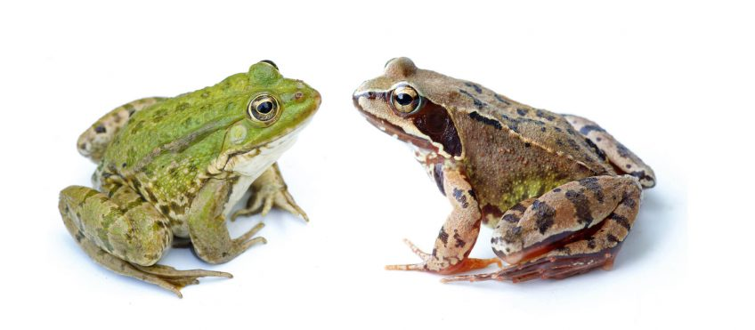 Oh, les belles grenouilles brunes - La Salamandre grenouilles vertes brunes