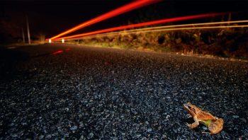 Les grenouilles sont plus habiles que les crapauds pour traverser rapidement une route. N'empêche que le voyage s'arrête net pour beaucoup d'entre elles.