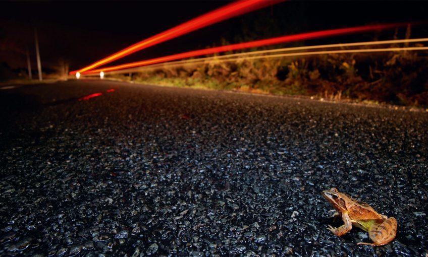 Déroute sur la route pour les grenouilles - La Salamandre route grenouille rousse migration danger