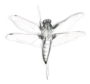 Casse-tête chez les grenouilles vertes - La Salamandre Libellules dessin