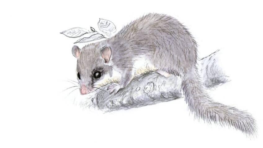 Loir gris dessin Observer le loir gris - La Salamandre