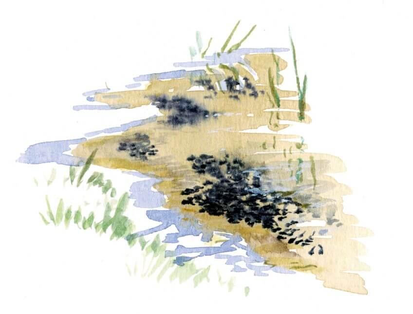 Les superpouvoirs du têtard - La Salamandre têtards noirs dessin