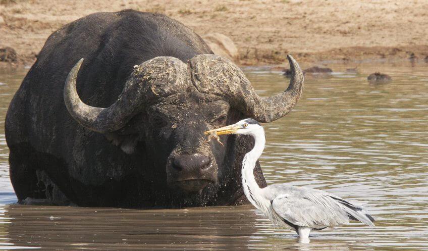 Les hérons, compagnons d'infortune grenouille boeuf musqué afrique