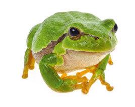 L'eau aux oubliettes, ou la terrible disparition des marais - La Salamandre 11 infos insolites sur la grenouille Rainette verte