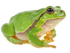 L'eau aux oubliettes, ou la terrible disparition des marais - La Salamandre Rainette verte
