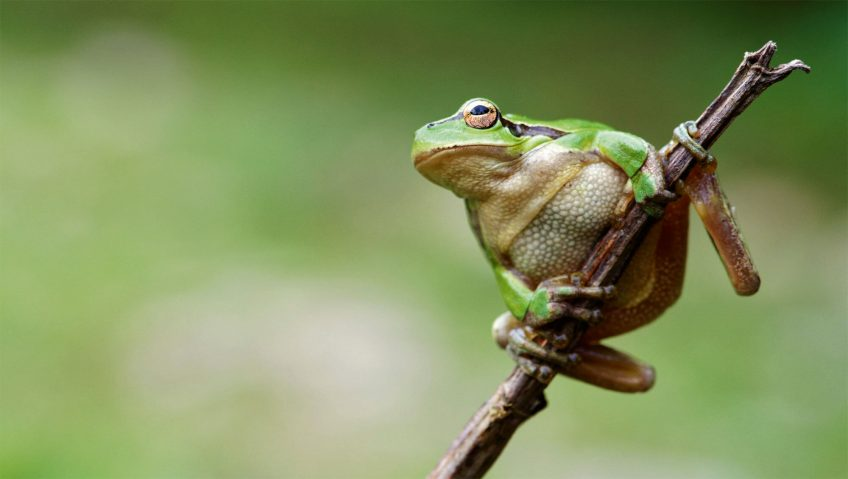 Rainette verte L'eau aux oubliettes, ou la terrible disparition des marais - La Salamandre