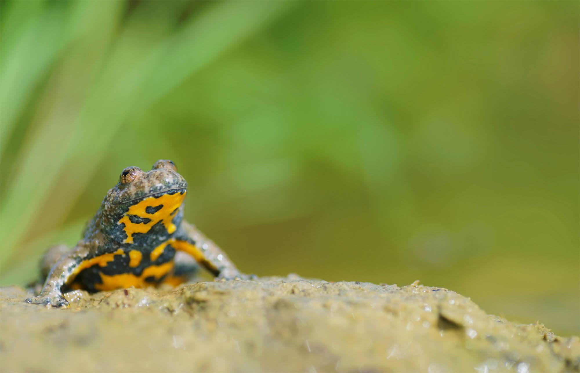L'eau aux oubliettes, ou la terrible disparition des marais - La Salamandre Sonneur à ventre jaune
