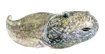 Les superpouvoirs du têtard - La Salamandre Têtard dessin bouche racler