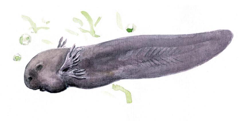 Les superpouvoirs du têtard - La Salamandre Têtard dessin branchies