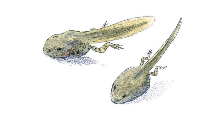 Les superpouvoirs du têtard - La Salamandre Têtards dessin