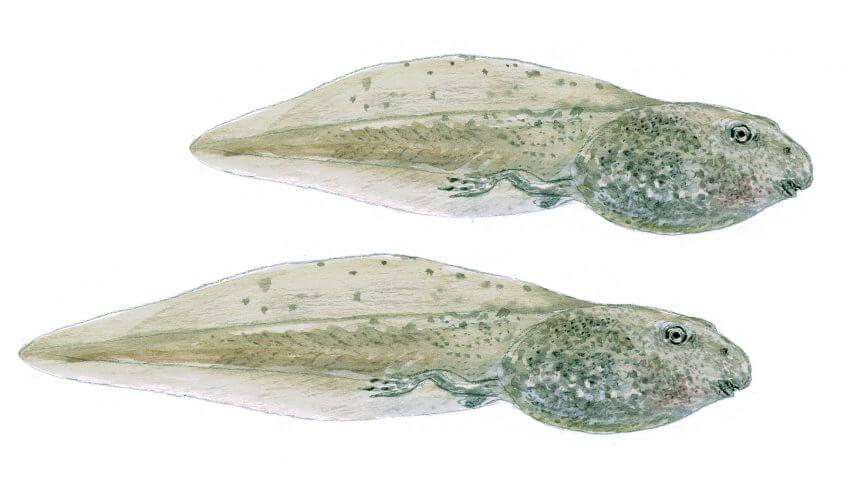 Les superpouvoirs du têtard - La Salamandre Têtards à grande queue dessin adaptation