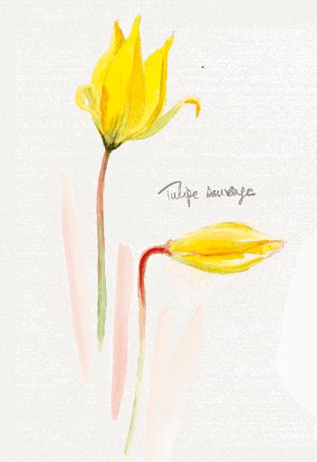 Bruants zizis et fous dans les vignes - La Salamandre tulipe sauvage dessin