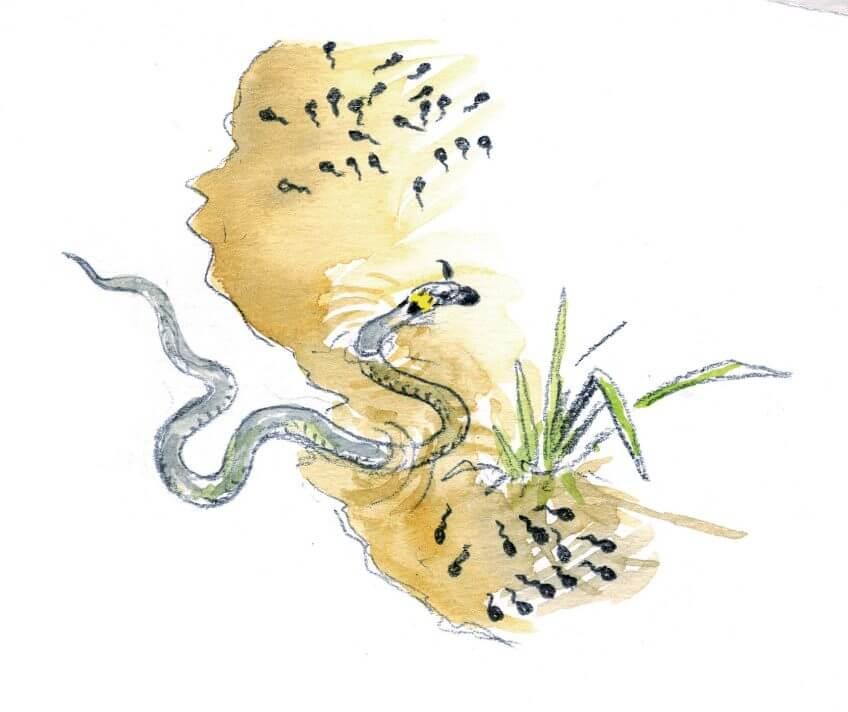 Les superpouvoirs du têtard - La Salamandre Un couleuvre à collier attaque des têtards prédation dessin