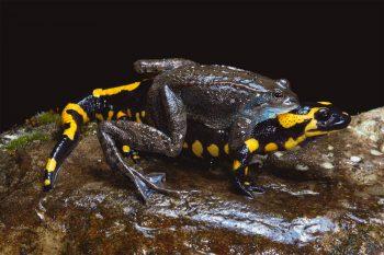 Mariages survoltés chez les grenouilles - La Salamandre Un mâle grenouille rousse agrippé à une salamandre reproduction couple