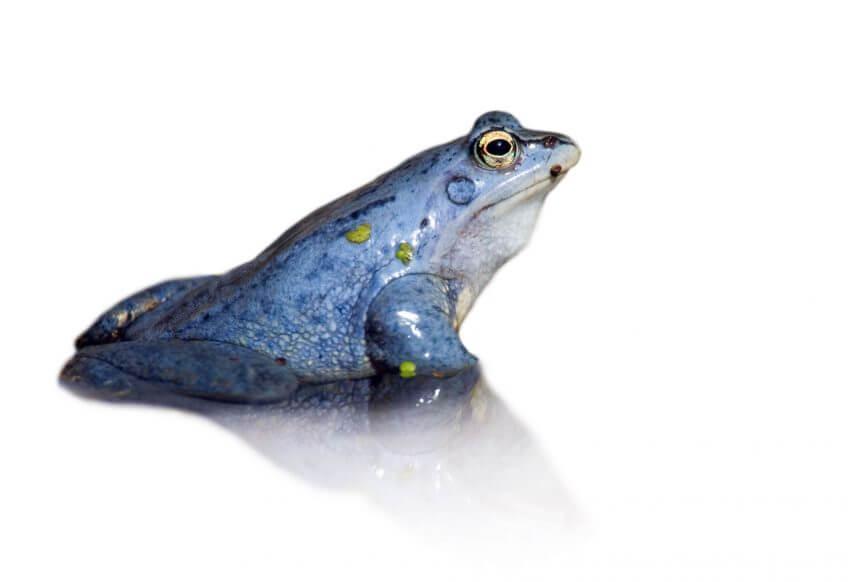 Oh, les belles grenouilles brunes - La Salamandre Une grenouille des champs mâle bleu