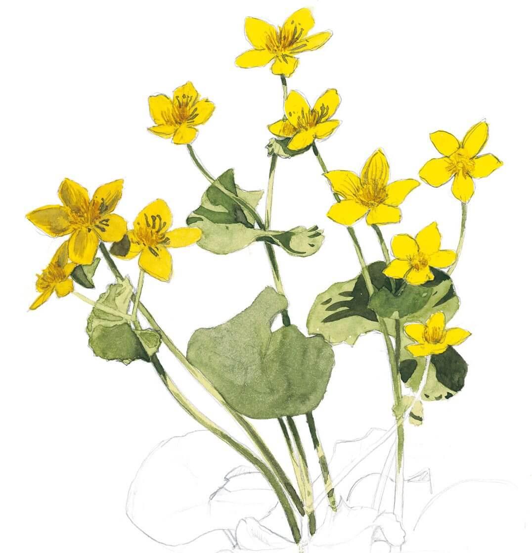 dessin Balade d'avril avec les feuilles et les fleurs - La Salamandre populage jaune