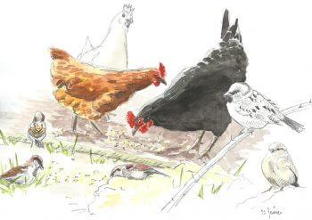 dessin-#5-moineaux-poules