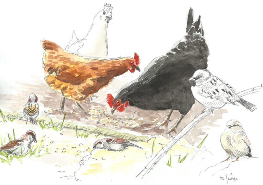 Les moineaux aiment les poules - La Salamandre