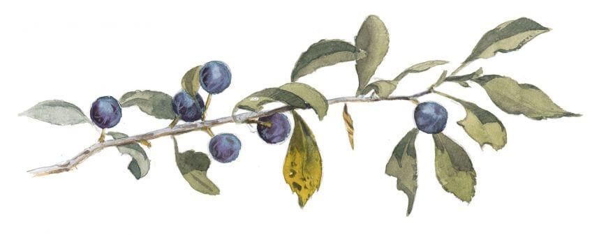 Balade de septembre, tout en couleurs - La Salamandre dessin prunellier