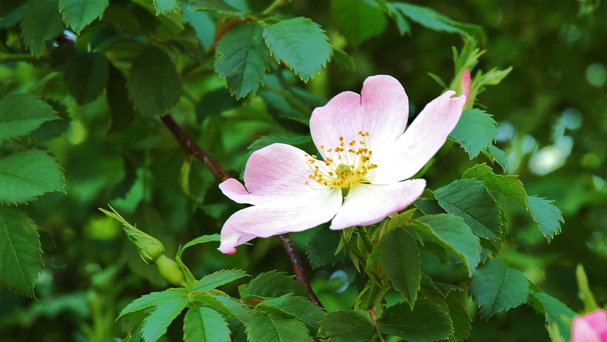 eglantier fleur balade de juin, ça sent les foins - La Salamandre
